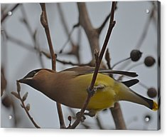 Cedar Waxwing Feasting In Foggy Cherry Tree Acrylic Print by Jeff at JSJ Photography