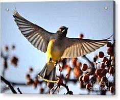 Cedar Waxwing Flight Acrylic Print by Nava Thompson