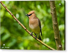Cedar Waxwing Gathering Nesting Material Acrylic Print