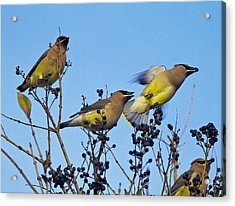 Cedar Waxwings And  Berries Acrylic Print by Constantine Gregory