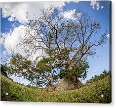 Ceiba Acrylic Print by Carl Engman