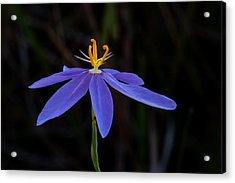 Celestial Lily Acrylic Print