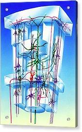 Cell Types In Brain Cortex Acrylic Print by John Bavosi