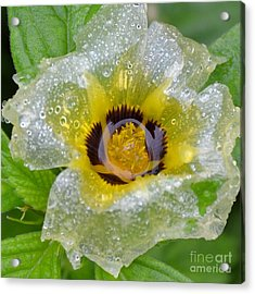 Cellophane Flower- Center Soaked Acrylic Print by Darla Wood