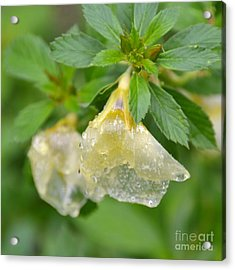 Acrylic Print featuring the photograph Cellophane Flower- Drenched by Darla Wood