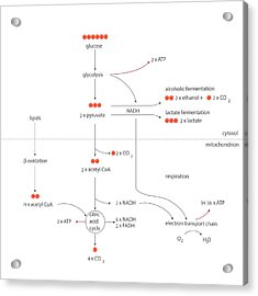 Cellular Respiration Metabolic Cycles Acrylic Print by Science Photo Library