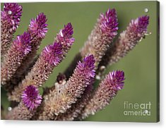 Celosia - Amaranthaceae Acrylic Print by Sharon Mau
