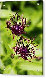 Centaurea Jacea 'jordy' Flowers Acrylic Print by Adrian Thomas