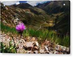 Centaurea Acrylic Print