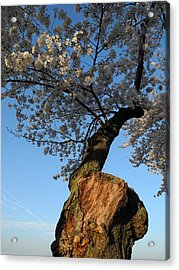 Acrylic Print featuring the photograph Century Old Sakura by Yue Wang