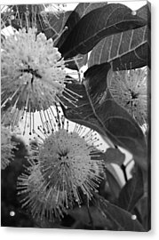 Cephalanthus Occidentalis In Black And White Acrylic Print by K Simmons Luna