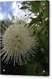 Cephalanthus Occidentalis The Button Bush  Acrylic Print