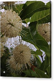 Cephalanthus Occidentals The Button Bush 2 Acrylic Print by K Simmons Luna