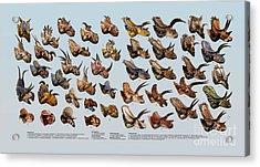 Ceratopsian Cornucopia Acrylic Print