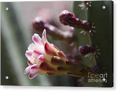 Cereus Hexagonus Pink Acrylic Print by Sharon Mau