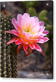 Acrylic Print featuring the photograph Cereus In Pink by Ruth Jolly