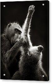 Chacma Baboons Grooming Acrylic Print by Johan Swanepoel