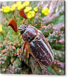 Chafer Beetle On Medusa Succulent 2 Acrylic Print