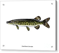 Chain Pickerel Acrylic Print
