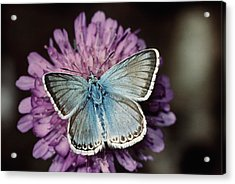 Chalkhill Blue Butterfly (lysandra Coridon), Close-up Acrylic Print by Alan P Barnes