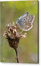Chalkhill Blue Butterfly On Knapweed Acrylic Print by Bob Gibbons