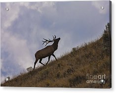 Challenge Of The Bull Elk Acrylic Print by Sandra Bronstein