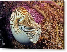 Chambered Nautilus _nautilus Pompilius__ Indonesia Acrylic Print by Dave Fleetham