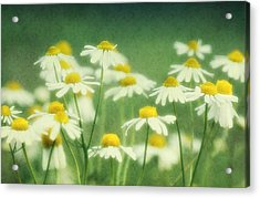 Chamomile Acrylic Print by Claudia Moeckel