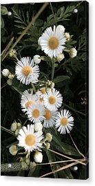 Chamomile Flowers. Acrylic Print