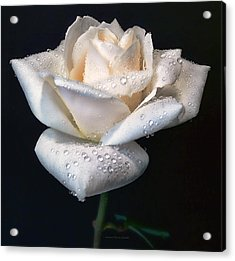 Champagne Rose Flower Macro Acrylic Print by Jennie Marie Schell