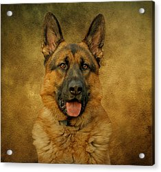 Chance - German Shepherd Acrylic Print