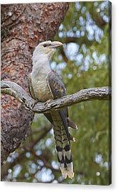 Channel-billed Cuckoo Fledgling Acrylic Print