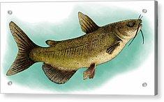 Channel Catfish Acrylic Print