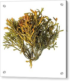 Channelled Wrack Seaweed Acrylic Print by Science Photo Library