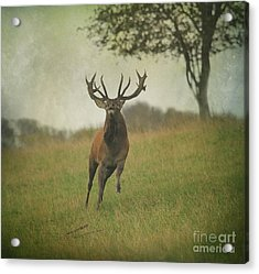 Charging Stag Acrylic Print by Roy  McPeak
