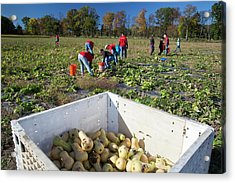 Charitable Use Of Leftover Crops Acrylic Print