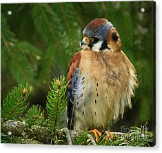 Charming By Nature American Kestrel Falcon.  Acrylic Print by Inspired Nature Photography Fine Art Photography