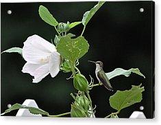 Charming Hummingbird Acrylic Print by Rob Hemphill