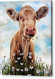 Charolais Lunch Acrylic Print by Laura Carey