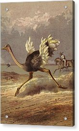 Chasing The Ostrich Acrylic Print by English School
