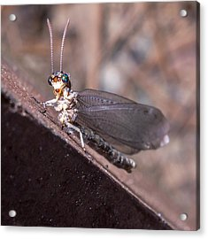 Chauliodes Acrylic Print by Rob Sellers