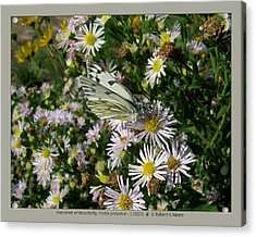 checkered white butterfly - Pontia protodice - 11SE06 Acrylic Print by Robert G Mears