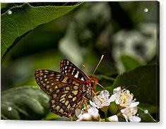 Checkerspot Sipping Nectar Acrylic Print