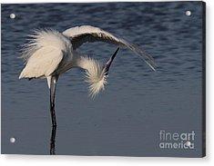 Checking For Leaks - Reddish Egret - White Form Acrylic Print