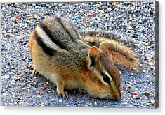 Cheeky Chipmunk Acrylic Print by Danielle  Parent