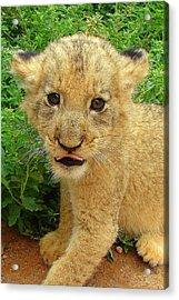 Cheeky Cub Acrylic Print by Ramona Johnston