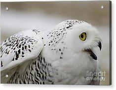 Cheeky Snow Owl Acrylic Print