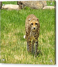 Acrylic Print featuring the photograph Cheetah Approaching by CML Brown