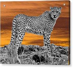 Cheetah At Dusk Acrylic Print by Larry Linton