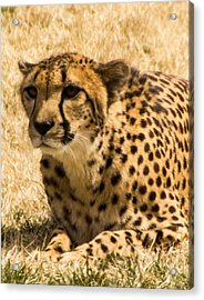 Acrylic Print featuring the photograph Cheetah by Cathy Donohoue
